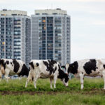 Cows grazing in front of tower blocks